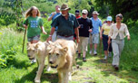 walk with lion mauritius
